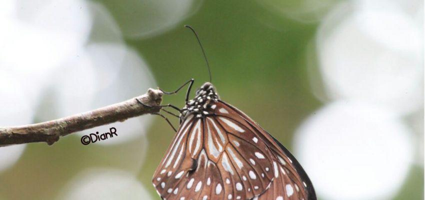 Hunting Kupu-kupu di Puncak Kebun Buah Mangunan